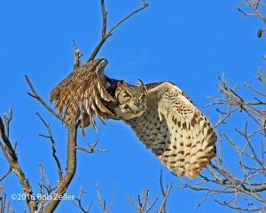 female Great Horned Owl heading to the nest.