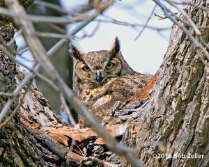 Great Horned Owl - female on nest.