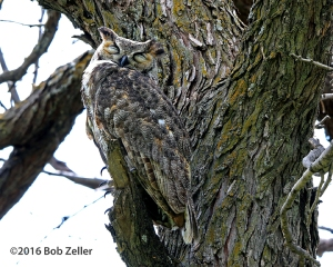 Great Horned Owl - alertly keeping an eye out.