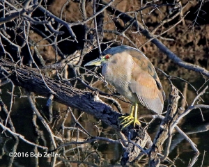 Black-crowned Night Heron - first year