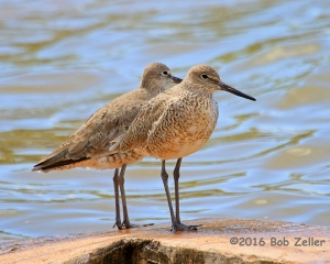 Willets