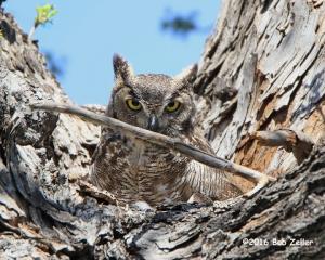 Great Horned Owl - mother on nest