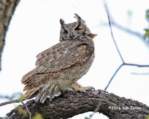 Great Horned Owl - female