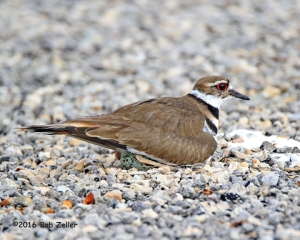 Killdeer sitting on two eggs.