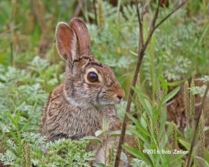 Cotton-tailed Rabbit