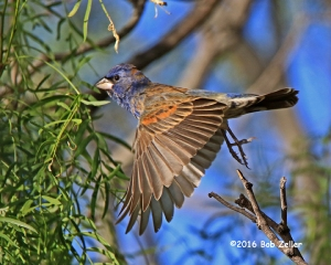 Blue Grosbeak - first year