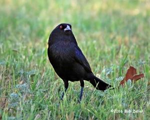 Bronzed Cowbird