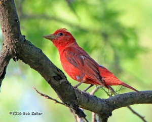 A wind-blown male Summer Tanager.