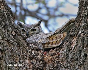 Great Horned Owl on nest.