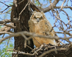 you Great Horned Owl
