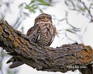 Common Nighthawk on mesquite branch.