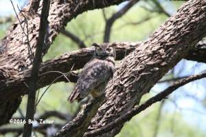 orig - Great Horned Owl