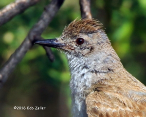 Ash-throated Flycatcher portrait