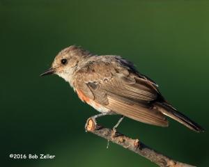 Vermilion Flycatcher - juvenile
