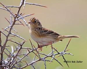 Grasshsopper Sparrow