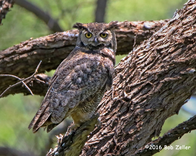 4G7A9369-net-owl-great-horned-bob-zeller