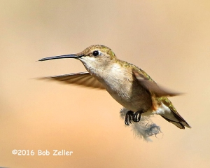 Black-chinned Hummingbird - female