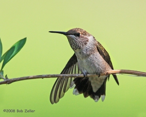 Black-chinnedd Hummingbird