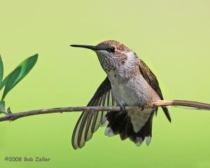 Black-chinnedd Hummingbird