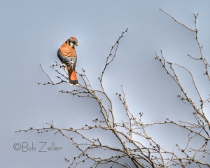 American Kestrel in tree.