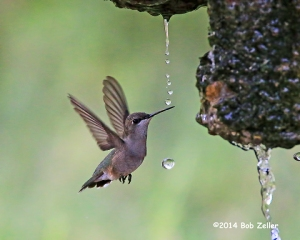 Ruby-throated Hummingbidrd