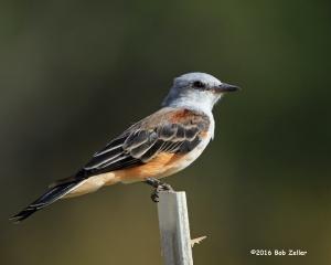 Scissor-tailed Flycatcher - juvenile