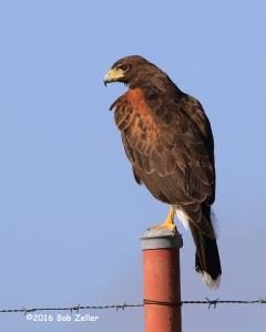 Hariss's Hawk