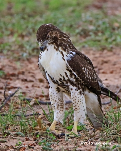 Red-tailed Hawk checking out a worm on the ground.