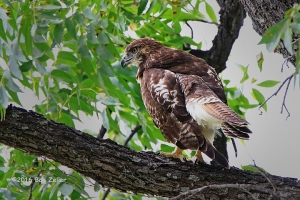 Red-tailed Hawk in tree.