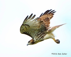 Juvenile Red-tailed Hawk on the move.