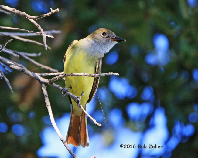 4g7a2780-net-flycatcher-great-crested-bob-zeller