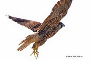 Peregrine Falcon lifting off from perch.