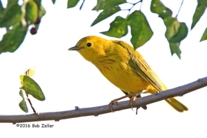Yellow Warbler - 1/1000th sec. @f7.1, +1 EV, ISO 1000.