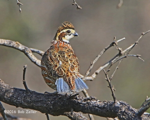 Northern Bobwhite - 1/1000 sec. @ f7.1, +1 EV adjustment, ISO 1000.