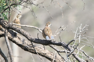 Northern Bobwhite on tree branch