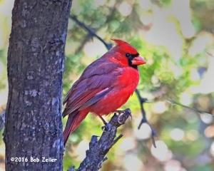 Northern Cardinal - 1/1000 sec. @ f5.6, +1 EV, ISO 2500.