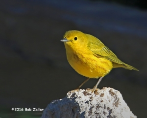Yellow Warbler - 1/800 sec, @ f6.3, +0.3, ISO 400.