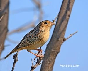 Grasshopper Sparrow - 1/800 sec. @ f5.6, +0.7 EV, ISO 160.