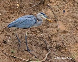 Great Blue Heron - 1/1250 sec. @ f6.3, +0.7 EV, ISO 6400