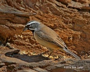 Black-throated Sparrow - 1/1000 sec, @ f7.1, -0.3 EV, ISO 400.