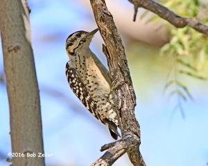Ladder-backed Woodpecker, female. 1/1000 sec. @f7.1, ISO 1000.