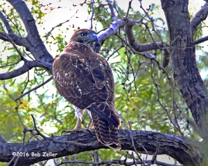 Red-tailed Hawk - 1/2000 sec. @ f7.1, ISO 6400.