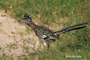 Greater Roadrunner - 1/1600 sec. @ f6.3, -0.3 EV, ISO 160.