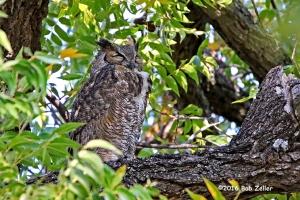 Great Horned Owl - 1/2000 sec. @ f6.3, +0.7 EV, ISO 6400.