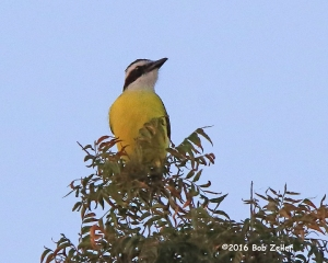 Great Kiskadee - 1/1690 sec. @ f8, -0.3EV, ISO 2500.