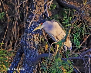 Black-crowned Night Heron - 1/1600 sec, @ f8 -0.3EV, ISO 6400.