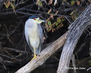 Black-crowned Night Heron - 1/1000 sec. @ f6.3, -0.3EV, ISO 3200.