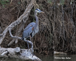 Great Blue Heron - 1/1000 sec. @ f6.3, +0.3, ISO 3200.