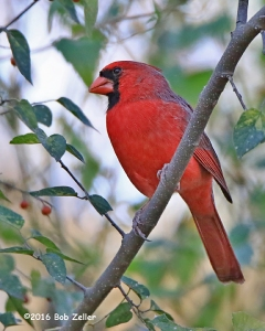 Northern Cardinal - 1/1250 sec. @ f6.3, -0.3EV, ISO 6400.