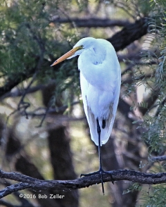 Great Egret - 1/1600 sec. @ f6,3, ISO 1250.